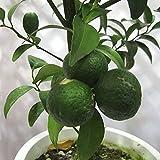 シークワーサー(ヒラミレモン)4~5号ポット[10~11月収穫 沖縄の柑橘・苗木・酢ミカン]