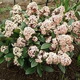 3 X Skimmia Japonica Rubella (Male) (Sent in 9cm pots)