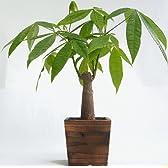 木製4寸パキラ