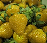 Yellow WonderTM Alpine Strawberry - 4 Plants - Fragaria - Everbearing