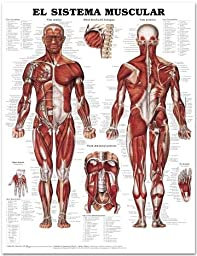 Muscular System Chart SPANISH LANGUAGE