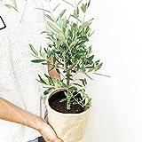 オリーブの木 観葉植物 鉢カバー付 鉢植え ガーデニング インテリア ミニ 中型