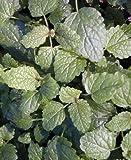 5 Lemon Balm herb Plants