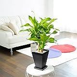 観葉植物 ドラセナ・マッサンゲアナ 6号※黒角鉢皿付 【お届け日指定OK】