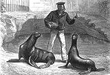 SUSSEX: Sea-lions at the Brighton aquarium, antique print, 1876