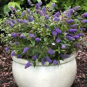 buddleia lo behold 174 blue chip butterfly bush 1 gallon pot patio lawn garden