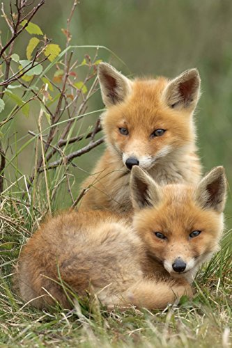 Two Adorable Little Red Fox Baby Kits Journal: 150 Page Lined Notebook/Diary (Vulpes The Red Fox compare prices)