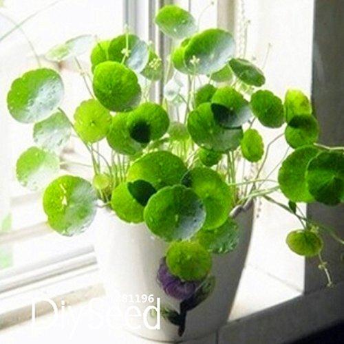 nouvelles-graines-fraiches-graines-de-pilea-plantes-en-pot-de-bricolage-interieur-exterieur-semences