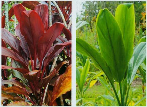 Hawaiian Ti Plant Logs 1 Red 1 Green ~ Grow Hawaii (For Ti Plant compare prices)