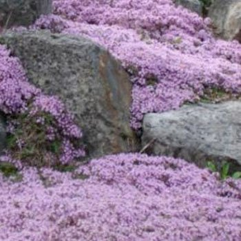 "1,000 Seeds, Creeping Thyme ""Mother of Thyme"" (Seeds by Seed Needs)"