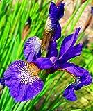IRIS SIBIRICA BOLD BLUE MARGINAL PERRENNIAL SUMMER FLOWERING IN 7CM POT
