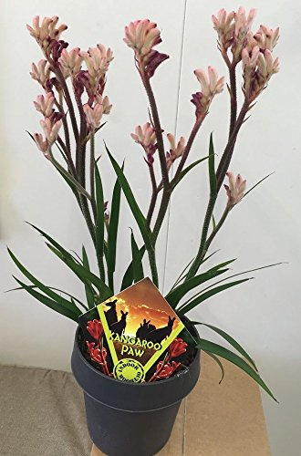 kangaroo-paw-anigozanthos-houseplant-in-14-cm-pot