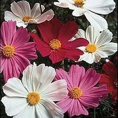 25 Seeds Cosmos Seeds