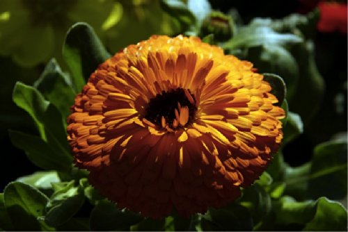 Pot Marigold/Calendula 'Persimmon Beauty' (Calendula Officinalis L.) Flower Plant Seeds, Annual Heirloom