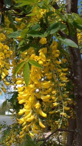 golden-chain-laburnum-anagyroides-1-year-old-15cm-tall-strong-starter-plant-it-will-grow-into-a-smal