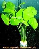 Lawn & Patio - 1 Bund Hydrocotyle verticillata, Hutpilzpflanze