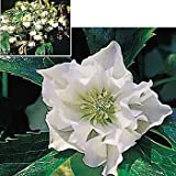 Amazon / Hirt's Gardens: Double White Christmas Rose 5 Seeds - Shade Perennial