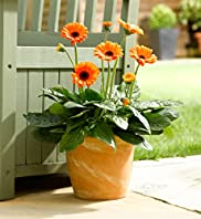Small Patio Pot - Gerbera