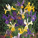 Dutch Iris Bulbs Mix