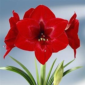 Amaryllis royal velvet 1 bulbe de fleur jardin for Bulbe amaryllis