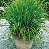 35 Seeds Mosquito Repelling Lemon Grass Plant
