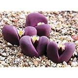 Lithops Optica Rubra, Sold By Exotic Cactus, Rare Mesembs Exotic Succulent Living Stones Cactus 30 Seeds + bonus 10 Castor bean Impala seeds