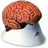 3B Scientific C18 Klassik-Gehirn, 5-teilig