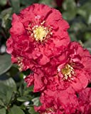Amazon / Hirts: Quince: Double TakeTM Chaenomeles Pink Storm PPAF - Flowering Quince - Proven Winners