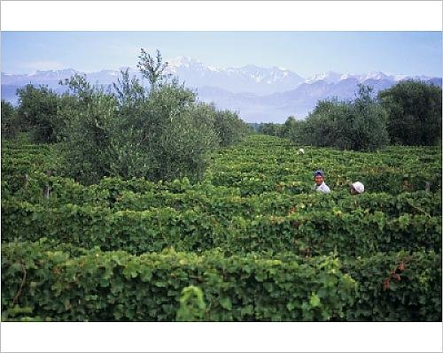 photographic-print-of-vineyard-of-luigi-bosca-estate-lujan-de-cuyo-mendoza-argentina