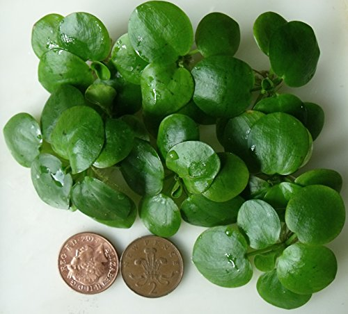 7-x-mini-amazon-frogbit-one-inch-in-size-live-plants