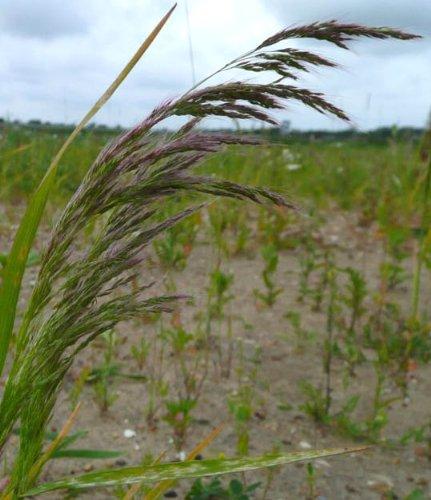 loose-silky-bent-apera-spica-venti-seeds-1-kg