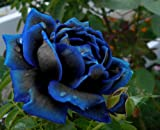 Midnight Supreme Rose Bush Flower Seeds 10 Stratisfied Seeds - Treasuresbylee Exclusive