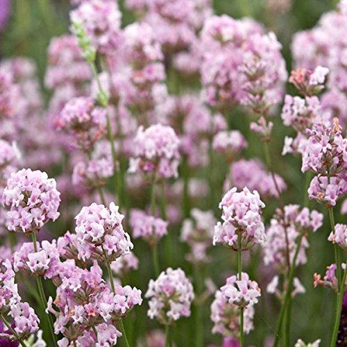 mamaison007-8pcs-lavandula-angustifolia-rosea-lavande-graines
