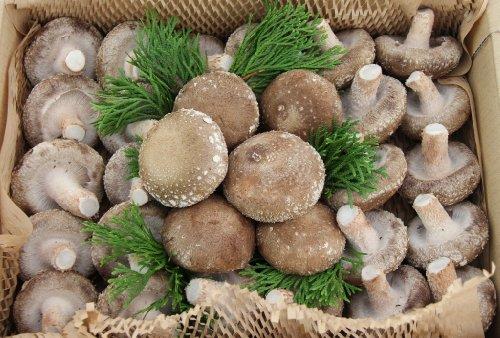 【島根県産】 極肉厚で『プリップリ』の食感な菌床生しいたけ(サンマッシュ) 小箱