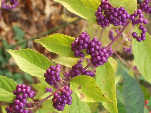 Purple Beautyberry (Callicarpa dichotoma)