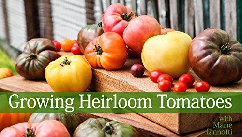 growing-heirloom-tomatoes