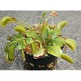 3 Small Venus Flytraps - Fly Trap - (Dionaea Muscipula) Carnivorous Plant 3 Inch Pot