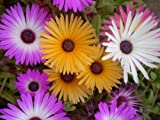 MESEMBRYANTHEMUM - PASTEL MIXED - 30,000 FLOWER SEEDS - BULK