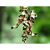 Red Sandalwood tree Adenanthera Pavonina exotic rare red bead wood saga 15 seeds
