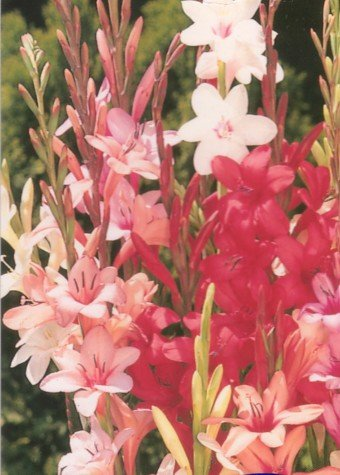 Watsonia Flowers on Baboon Flower 5 Bulbs     Babiana    Kew Hybrids      Plants