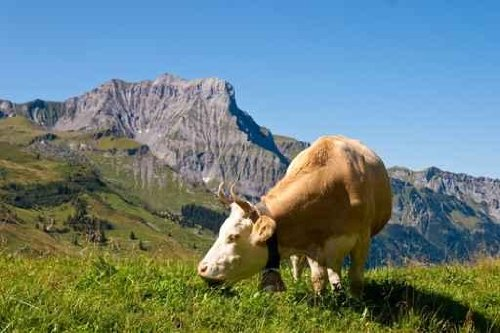 Dairy Cow in the Swiss Alps - 24