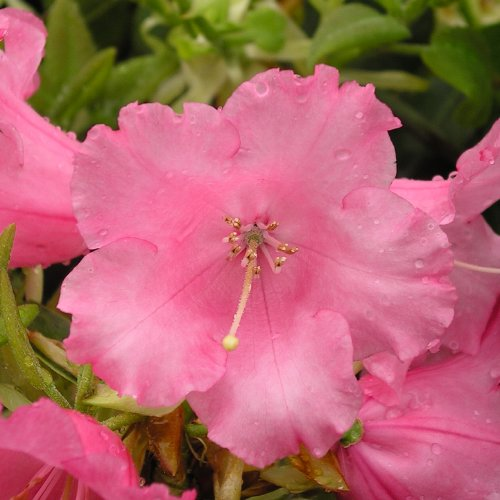 rhododendron-linda-ideal-gift-mothers-daybirthdaychristmas-personalised-plant-and-flower-giftsmummom