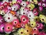 100+ Mesembryanthemum Magic Carpet Mix Flower Seeds / Ice Plant / Perennial
