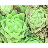 ABSTRACT SUCCULENT DETAIL By Greene, Taylor Art Print On Canvas 20x16 Inches