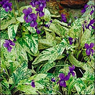 Fuji Dawn Perennial Violet 4 Plants - Hardy - Shade - Buy Fuji Dawn Perennial Violet 4 Plants - Hardy - Shade - Purchase Fuji Dawn Perennial Violet 4 Plants - Hardy - Shade (Hirts: Perennials; Shade, Home & Garden,Categories,Patio Lawn & Garden,Plants & Planting,Outdoor Plants)