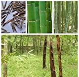 (Bamboo Za#009) HOT 200pcs/lot Factory Wholesale Fresh Black Bamboo Seeds
