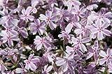芝桜 ( シバザクラ ) キャンディキャンディ 3号ポット苗 宿根草 苗 多年草 耐寒性 常緑 グランドカバー