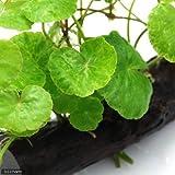 (水草)アマゾンチドメグサ 流木付(無農薬)(1個) 本州・四国限定[生体]