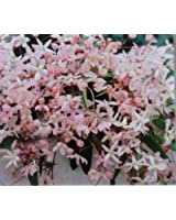Clematis armandii Apple Blossom evergreen pink fragrant spring flowering grown in 1 litre pot on tripod of 60cm canes.