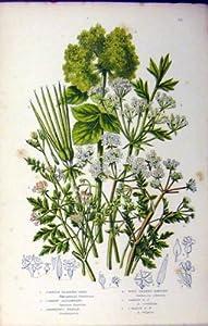 Parsley C1880 Anne Pratt Bladder-Seed Garden Botanical